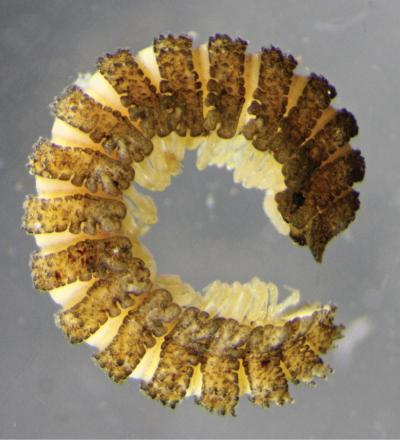Male specimen of new millipede species