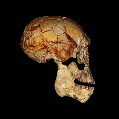 The skull known as 1470