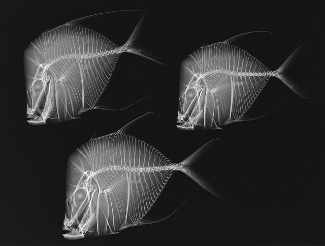 Lookdown fish x-ray