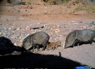 Javelina pair with two young