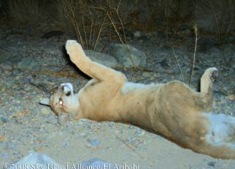 Mountain lion rolling on its back