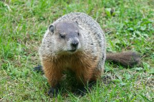A Groundhog on Green Grass