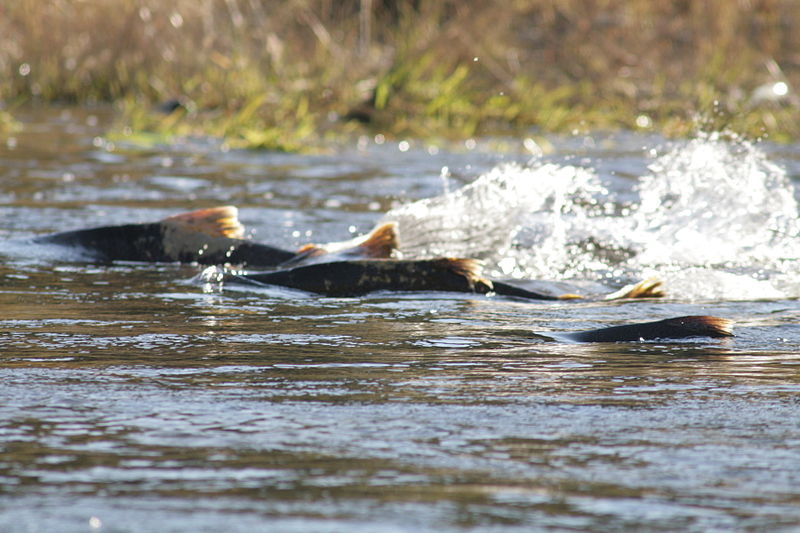 Chinook salmon moving upstream. Credit: Dan Cook (USFWS)