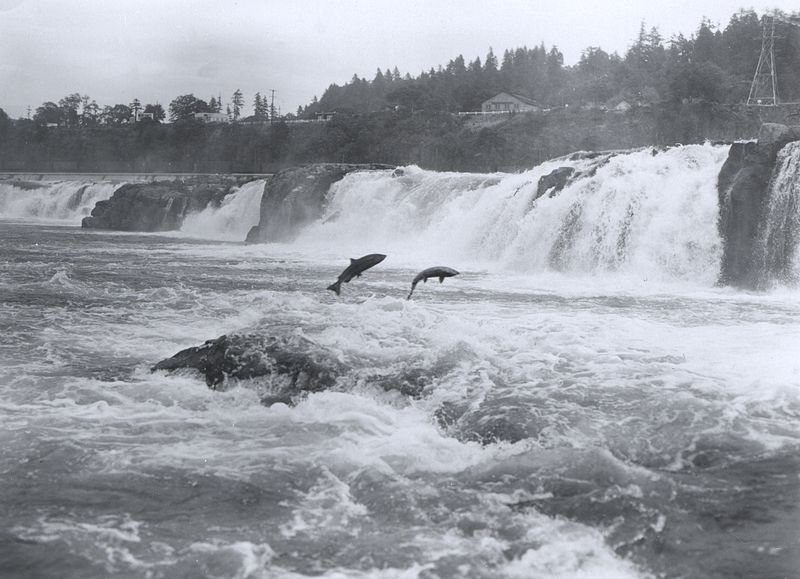 Salmon leaping up Willamette Falls, a cascade on a tributary of the Columbia River. Source: NOAA Photo Library