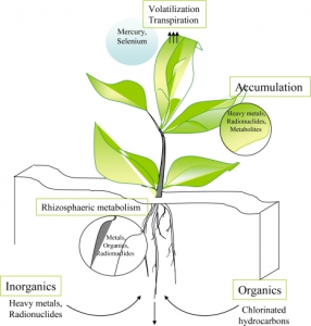 From Krystofova, O., Adam, V., Opatrilova, R., Babula, P., Zehnalek, J., Kaiser, J., et al. (2009). Sunflower Plants as Bioindicators of Environmental Pollution with Lead (II) Ions. Sensors, 9(7), 5040-5058.