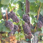 Grapes on the vine. Sonoma, California