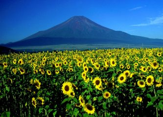 Mount_Fuji_and_Sunflower_1995-7-30