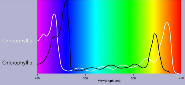 The Absorption Spectrum Of Chlorophyll There Are Spikes
