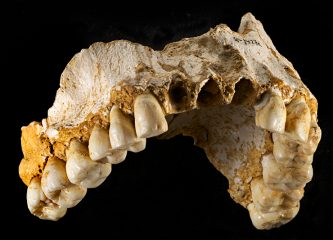 Neanderthal maxilla. Credit: Joan Costa/Spanish National Research Council