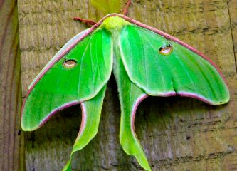 The beautiful Luna moth (Actias luna) of North America.  Image from the National Park Service.