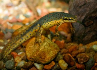 Adult male red-spotted newt (Notophthalmus viridescens viridescens), a subspecies of the Eastern newt, a common salamander of eastern North America, one of the species identified as vulnerable to Bsal. (Wikimedia Commons)