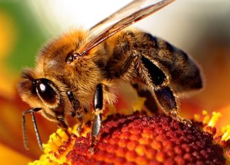Do bees have regional accents? This is the question that Cardiff University researchers are setting out to answer, according to a July 15 press release. (Wikimedia Commons)