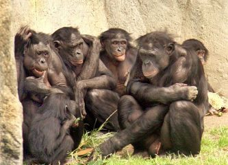 Social gathering of six bonobos at the San Diego Zoo. (Credit: W. H. Calvin 2006.)