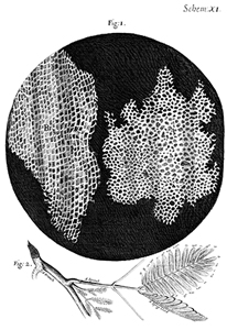 The cork described in Micrographia by Robert Hooke