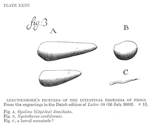 Leeuwenhoek's drawing of protozoa