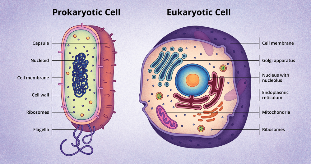 cell structures prokaryotic eukaryotic cells Prokaryotic cell lack a proper well defined nucleus with a nuclear membrane that is why the genetic material becomes dispersed inside the cell the whole organism is composed of a single cell these cell lack organelles like mitochondria and golgi apparatus etc example : bacteria eukaryotic cell eu means well and karyon means nucleus.