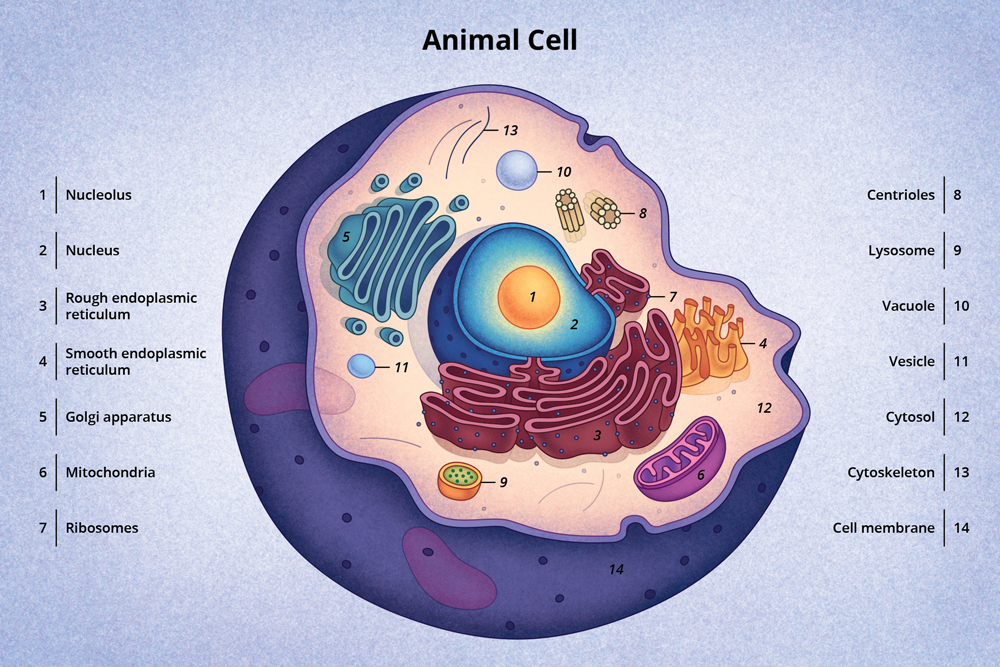 A diagram of a typical animal cell