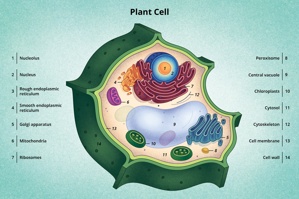 A diagram of a typical plant cell