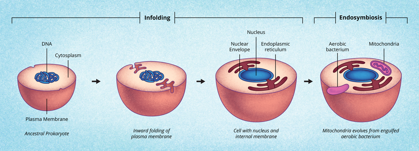 Discovery and structure of cells biology visionlearning figure 9 the cell membrane in folding and creating a nuclear envelope ccuart Image collections