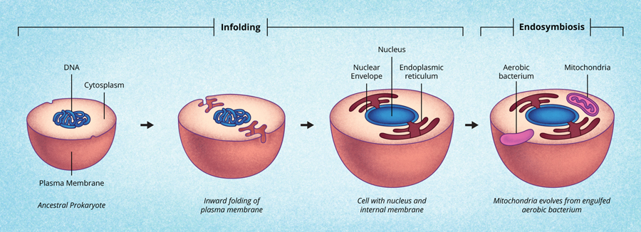 The cell membrane in-folding and creating a nuclear envelope