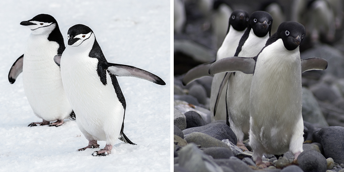 Adaptation: The Case of Penguins
