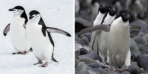 Adelie and chinstrap penguins