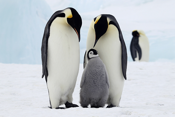 Adult and chick penguins