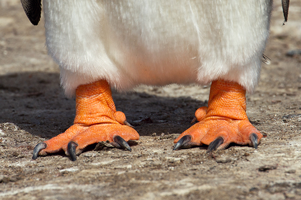 Penguins' feet are poorly insulated and rapidly lose heat