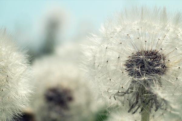 A dandelion
