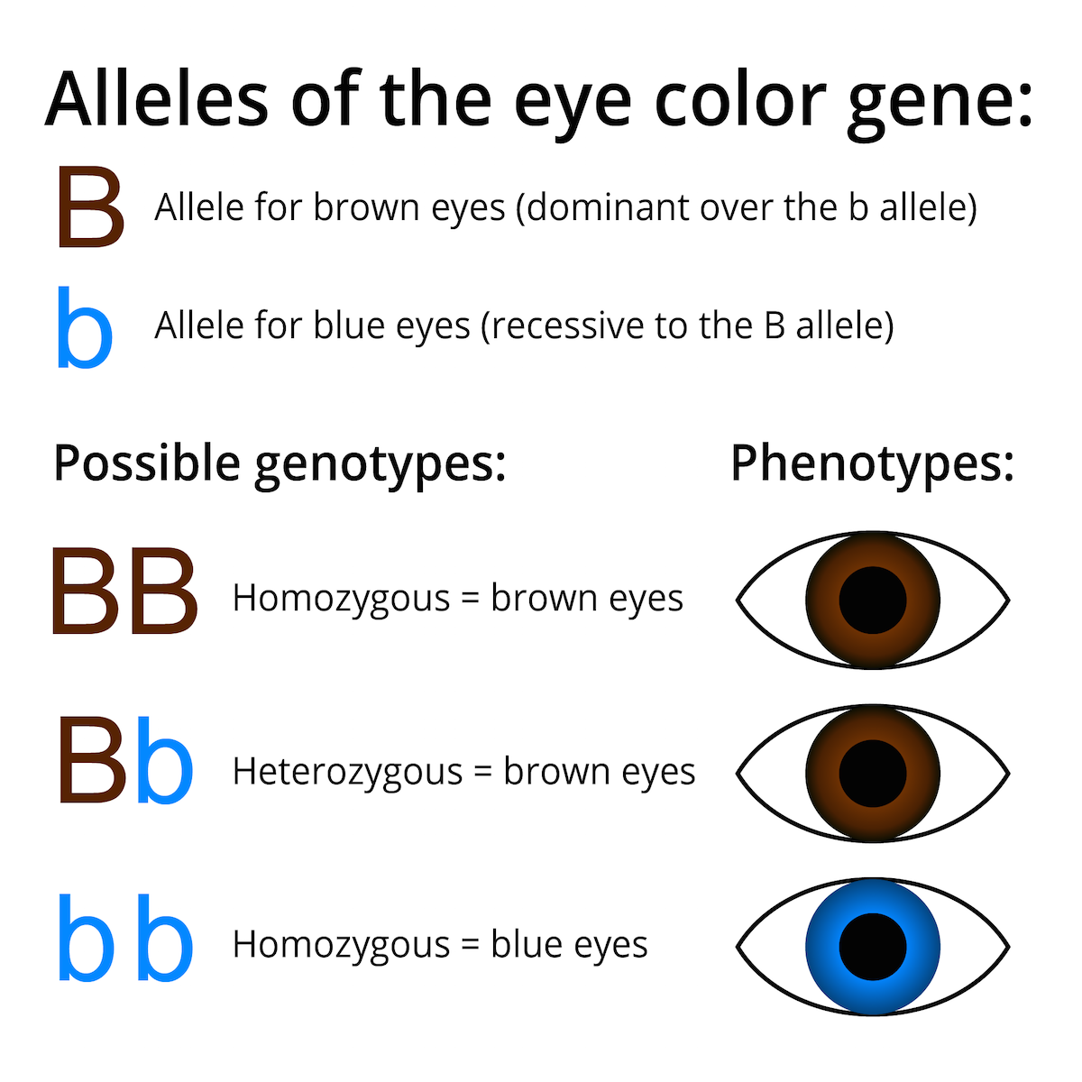 Alleles genotypes phenotypes