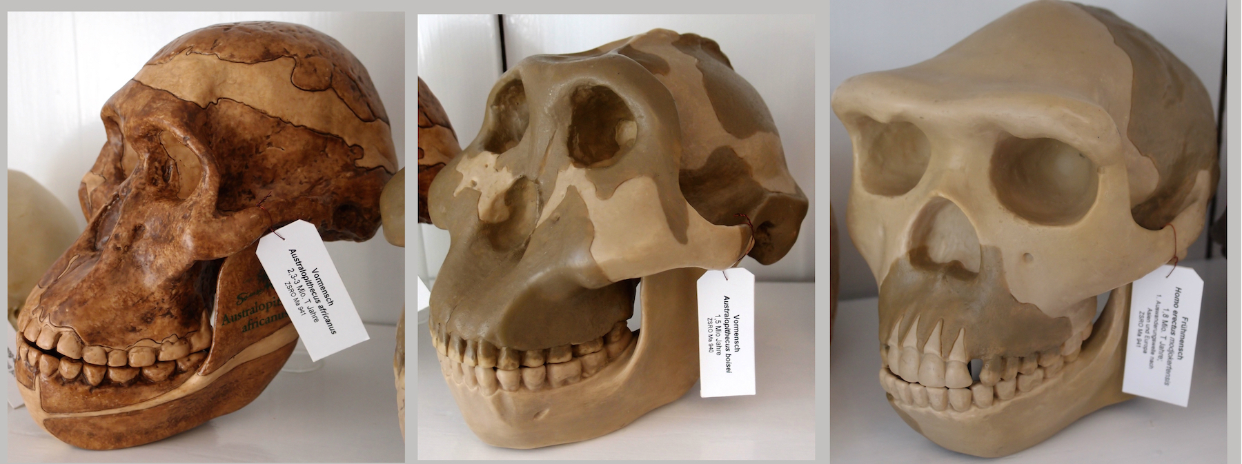 Introduction to paleoanthropology biology visionlearning hominid skulls urtaz Gallery
