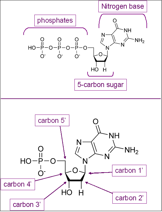 Figure 2 A Nucleotide The Five Carbon Sugar Deoxyribose Forms The Center Of The Molecule Attached To Carbon 1 Is The Nitrogen Base And Attached To