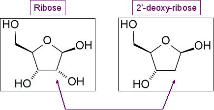 deoxyribose vs ribose - photo #17