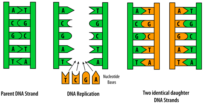 DNA and Molecular Ge ics further Worksheets Fresh Dna Replication Worksheet Answers Hi on Modern Dna furthermore dna molecule and replication worksheet answers   iancconf in addition  moreover Dna Molecule Diagram Worksheet Structure Beautiful Replication likewise DNA Replication in addition Biological Basis of Heredity  Molecular Level of Ge ics further Bioknowledgy 7 1 DNA structure and replication AHL likewise KateHo » Dna Structure And Function Worksheet Kidz Activities dna also Dna Color Diagram   Schematics Wiring Diagrams • besides  additionally Structure Of Dna And Replication Dna Molecules Two Views besides  as well  in addition Dna Molecule Diagram Worksheet Structure Beautiful Replication likewise DNA II   Biology   Visionlearning. on dna molecule and replication worksheet