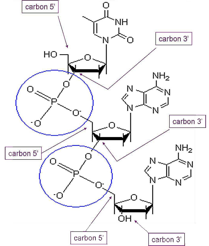 Dna ii biology visionlearning phosphodiester bonds ccuart Images