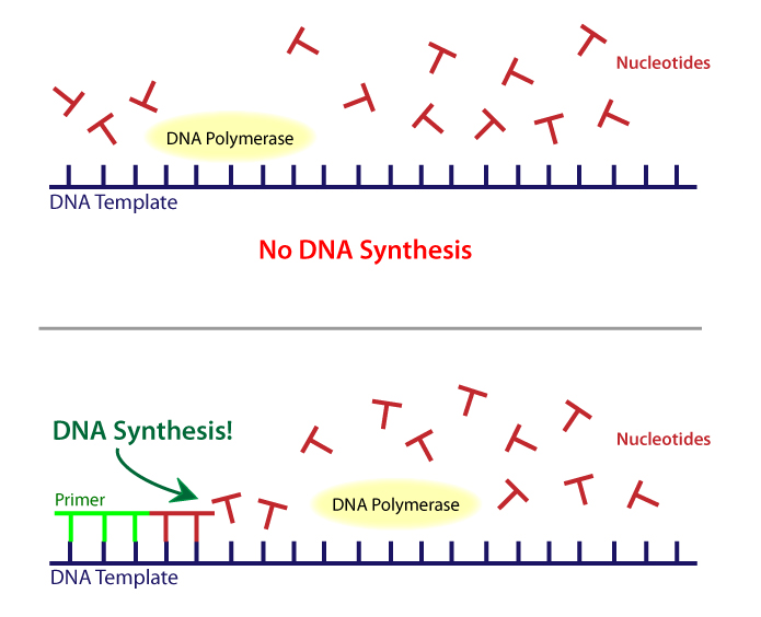 template definition biology - dna iii biology visionlearning
