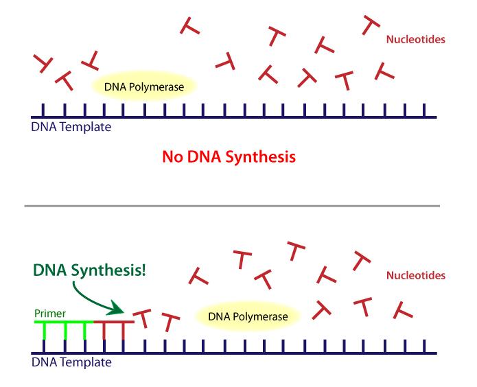 ADN III   Biology   Visionlearning