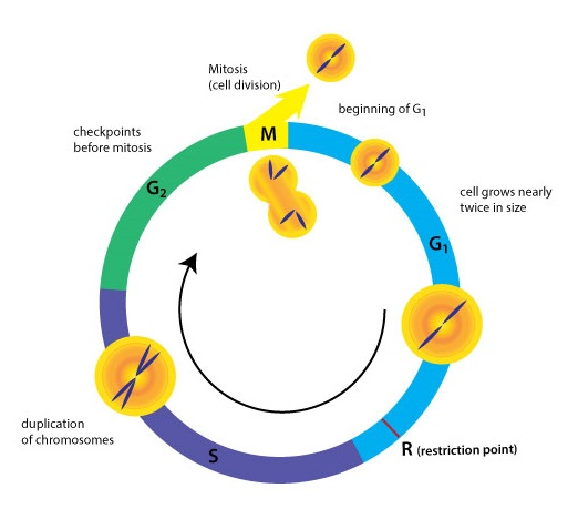 Cell Division I Biology Visionlearning