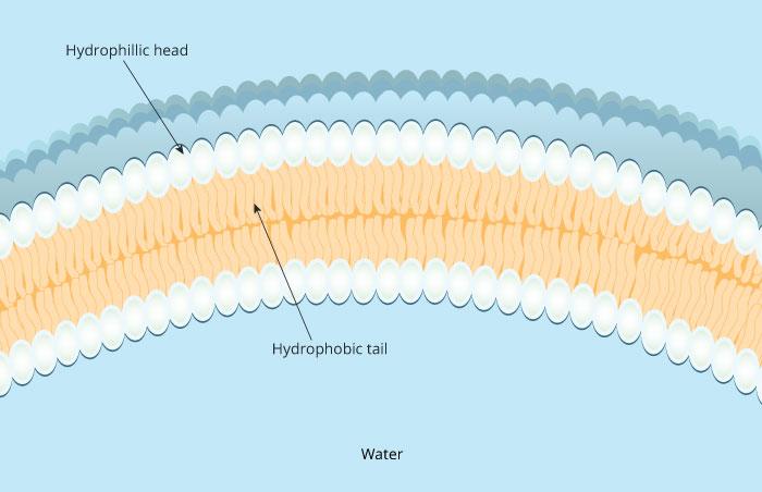 Membranes I | Biology | Visionlearning