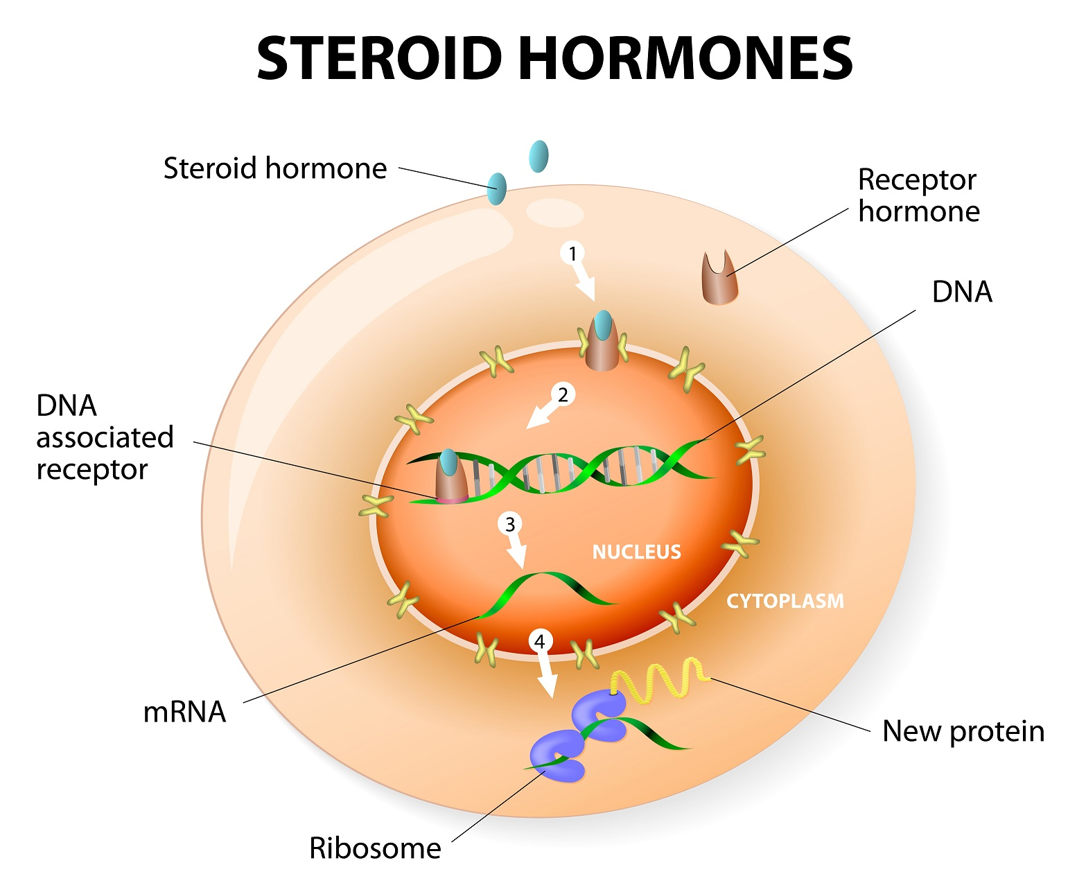 what steroid hormones do ovaries produce