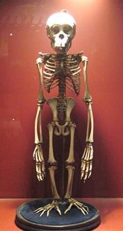skeleton chimpanzee