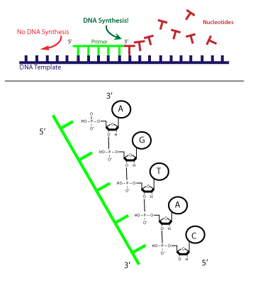 Schematic of Unidirectional DNA Synthesis