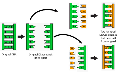 Schematic of DNA Replication_small