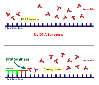 DNA polymerase requires a primer_sm