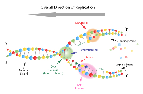 Overall direction of replication