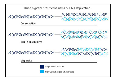 Mes Stahl DNA replication