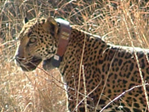 Jaguar wearing a radio collar