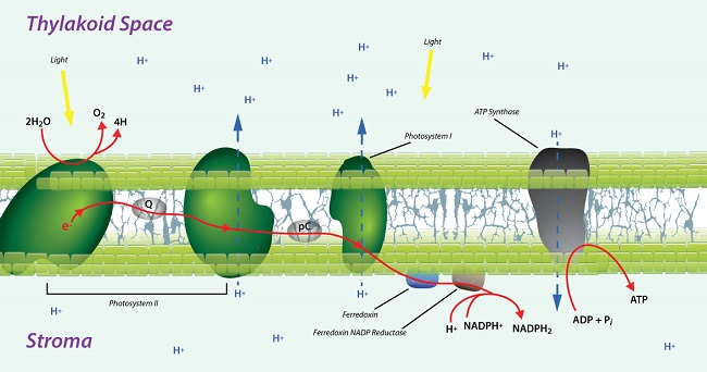 electron transfer in membrane