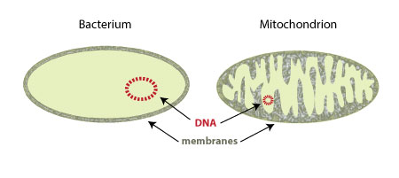 DNA in mitochondria