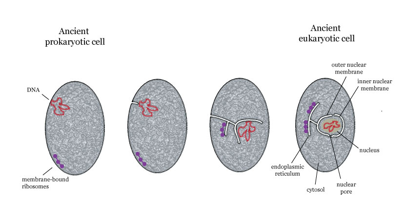 evolution of eukaryotic cell